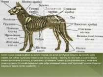 Скелет кінцівок ссавців подібний до скелета плазунів, але деталі його будови ...