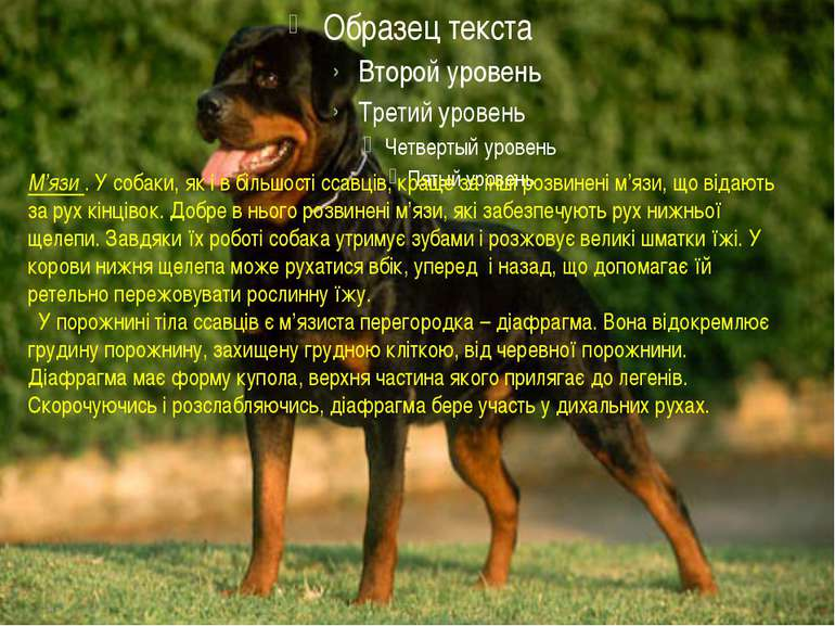 М'язи . У собаки, як і в більшості ссавців, краще за інші розвинені м'язи, що...
