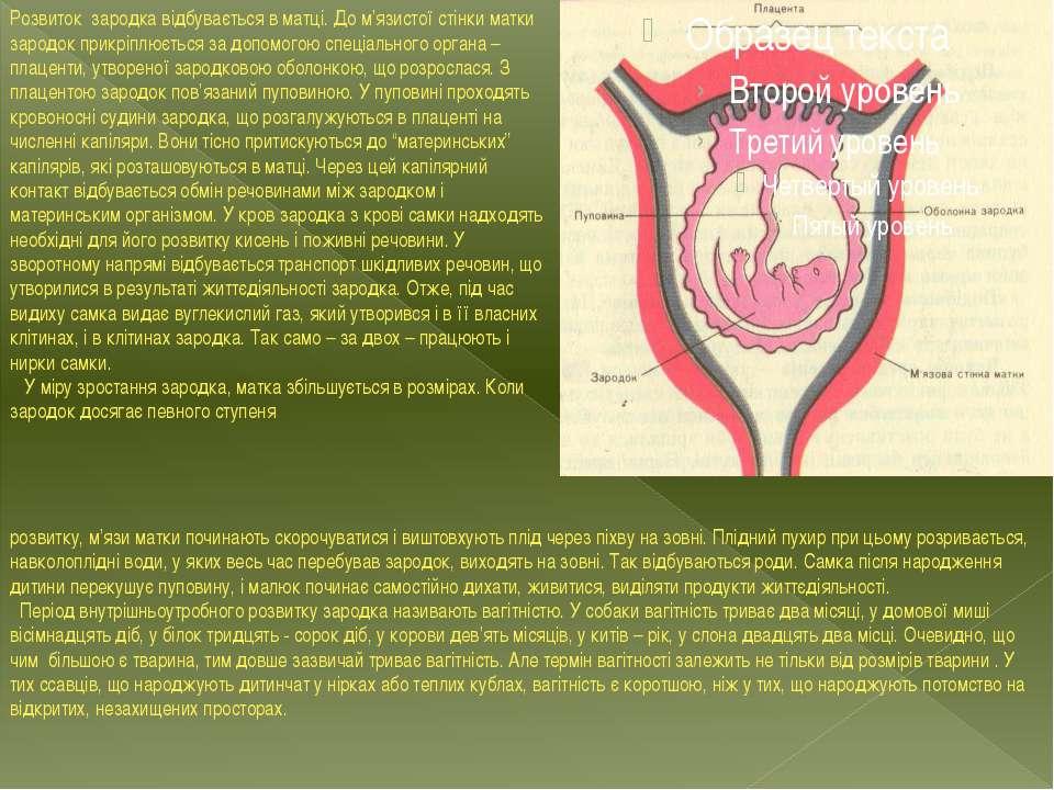 Розвиток зародка відбувається в матці. До м'язистої стінки матки зародок прик...