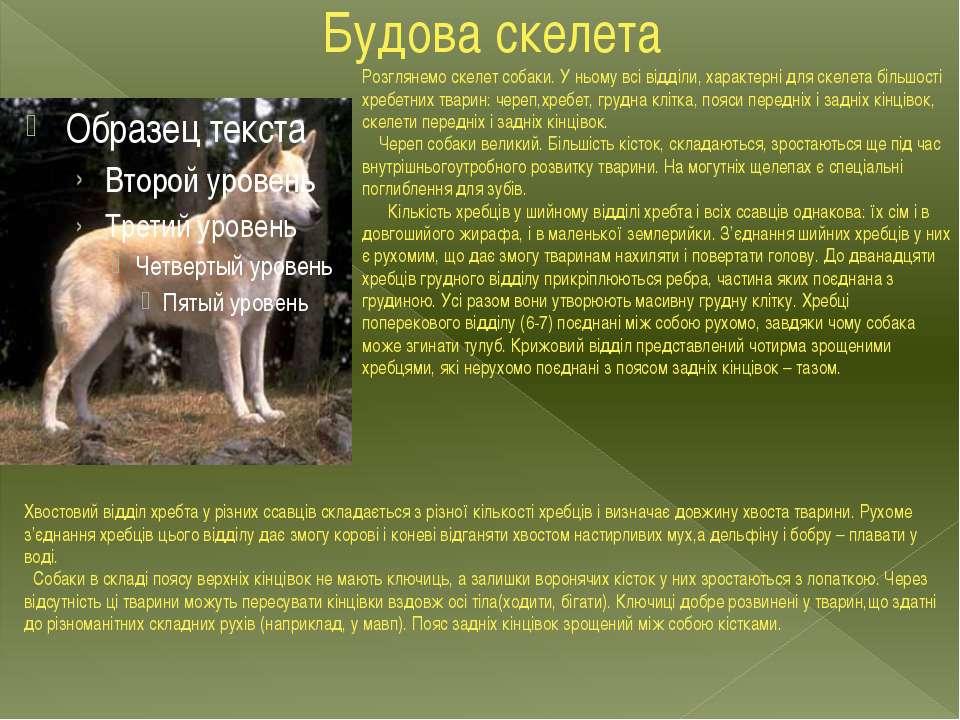 Будова скелета Розглянемо скелет собаки. У ньому всі відділи, характерні для ...