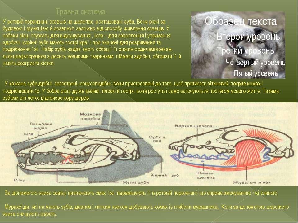 Травна система У ротовій порожнині ссавців на щелепах розташовані зуби. Вони ...