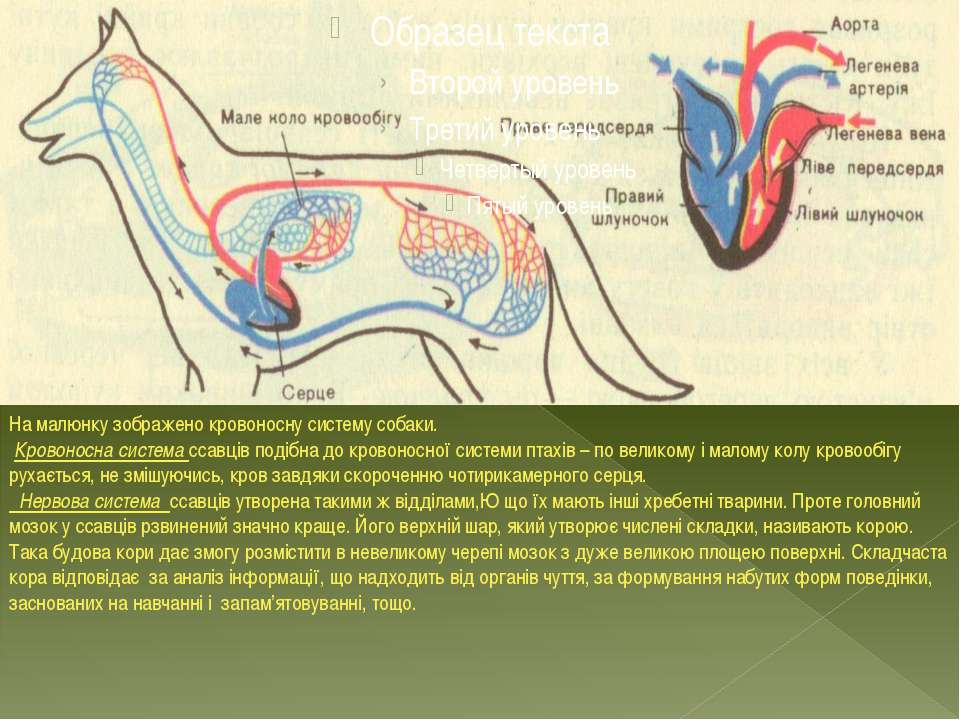 На малюнку зображено кровоносну систему собаки. Кровоносна система ссавців по...