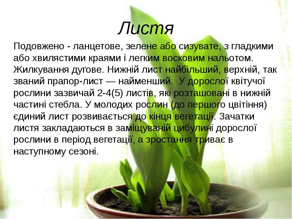 Листя Подовжено - ланцетове, зелене або сизувате, з гладкими або хвилястими к...