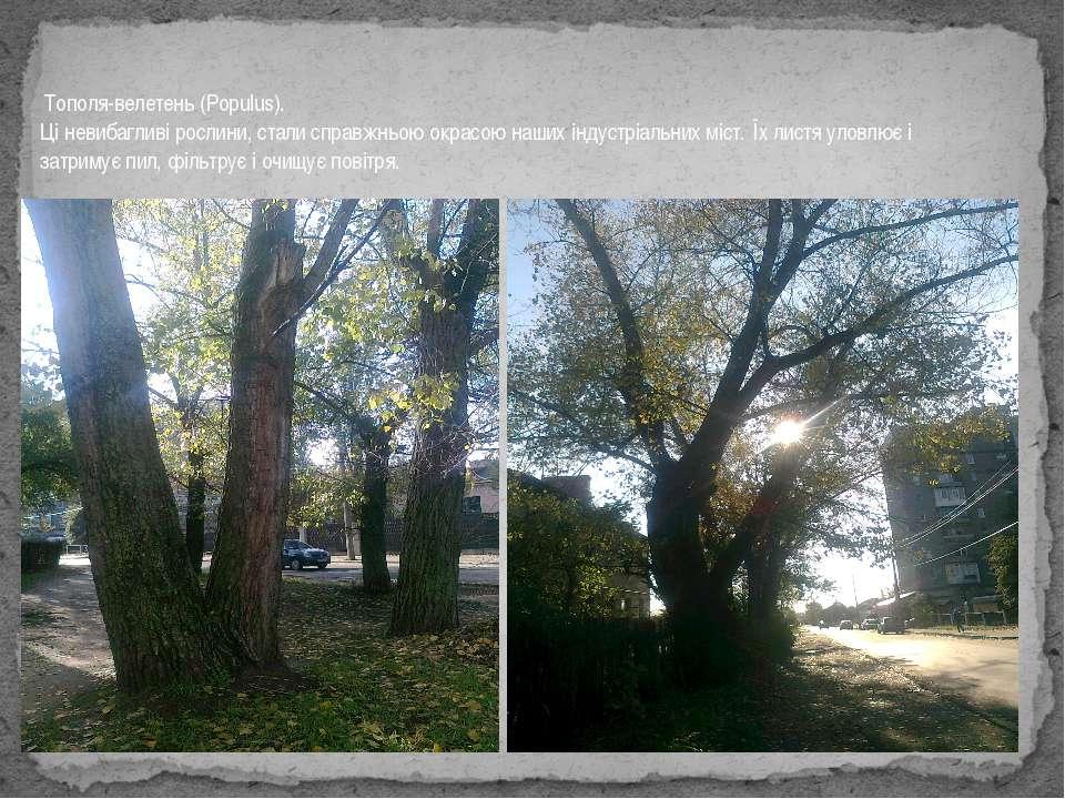 Тополя-велетень (Populus). Ці невибагливі рослини, стали справжньою окрасою н...