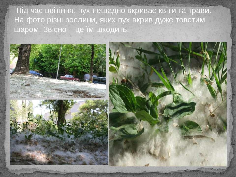 Під час цвітіння, пух нещадно вкриває квіти та трави. На фото різні рослини, ...