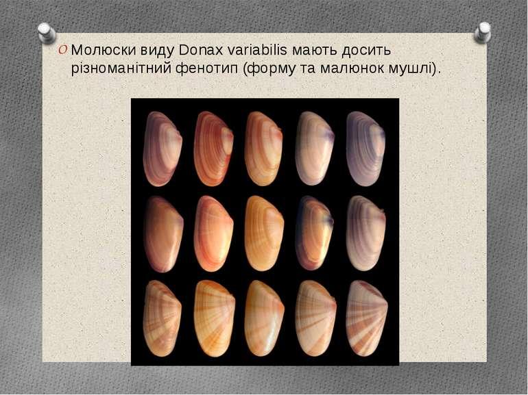 Молюски виду Donax variabilis мають досить різноманітний фенотип (форму та ма...