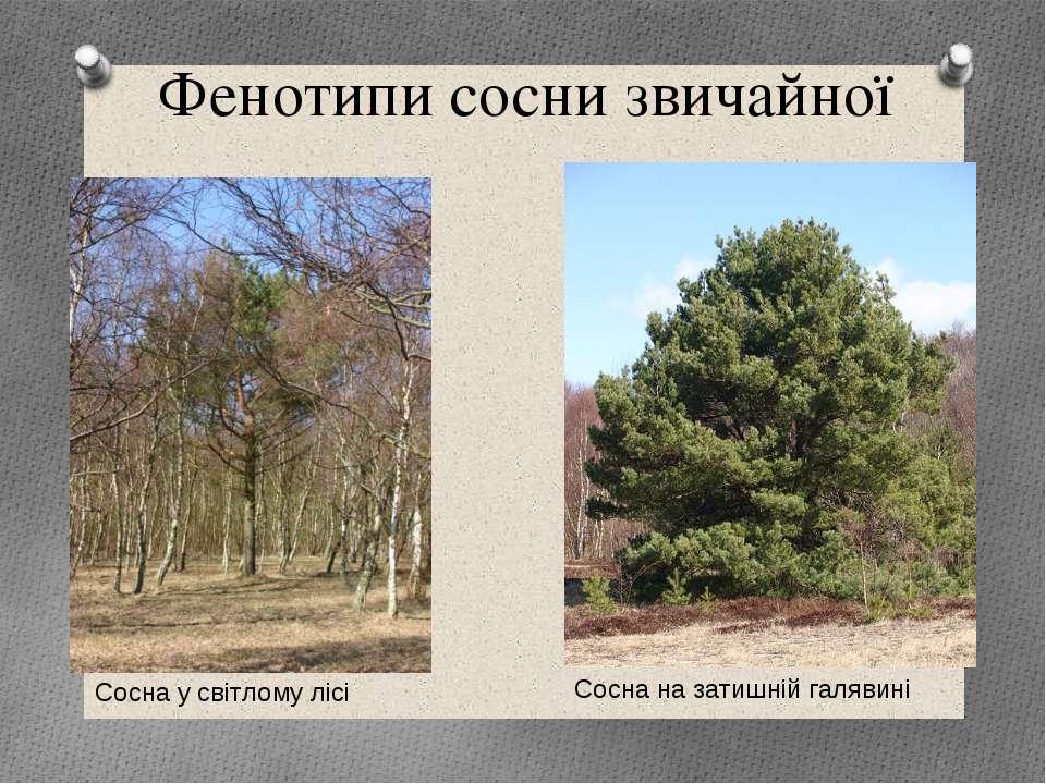 Фенотипи сосни звичайної Сосна на затишній галявині Сосна у світлому лісі 9