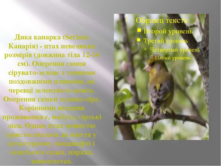 Дика канарка (Serinus Канарія) - птах невеликих розмірів (довжина тіла 12-14 ...