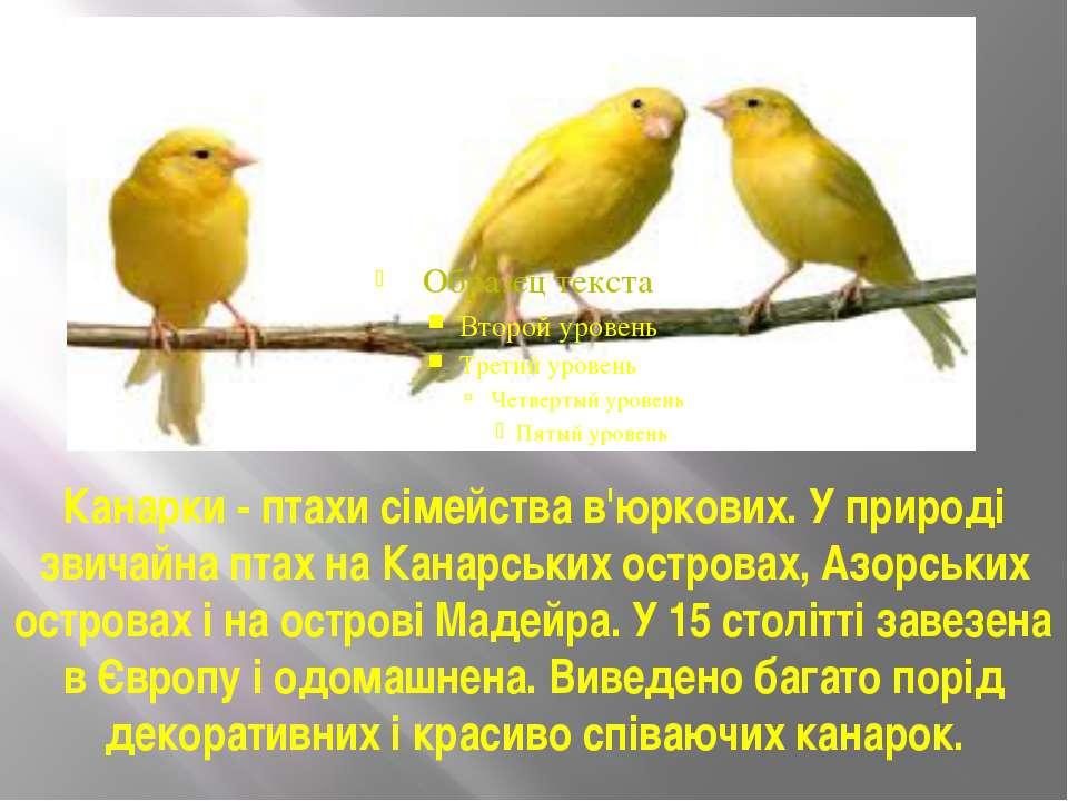 Канарки - птахи сімейства в'юркових. У природі звичайна птах на Канарських ос...
