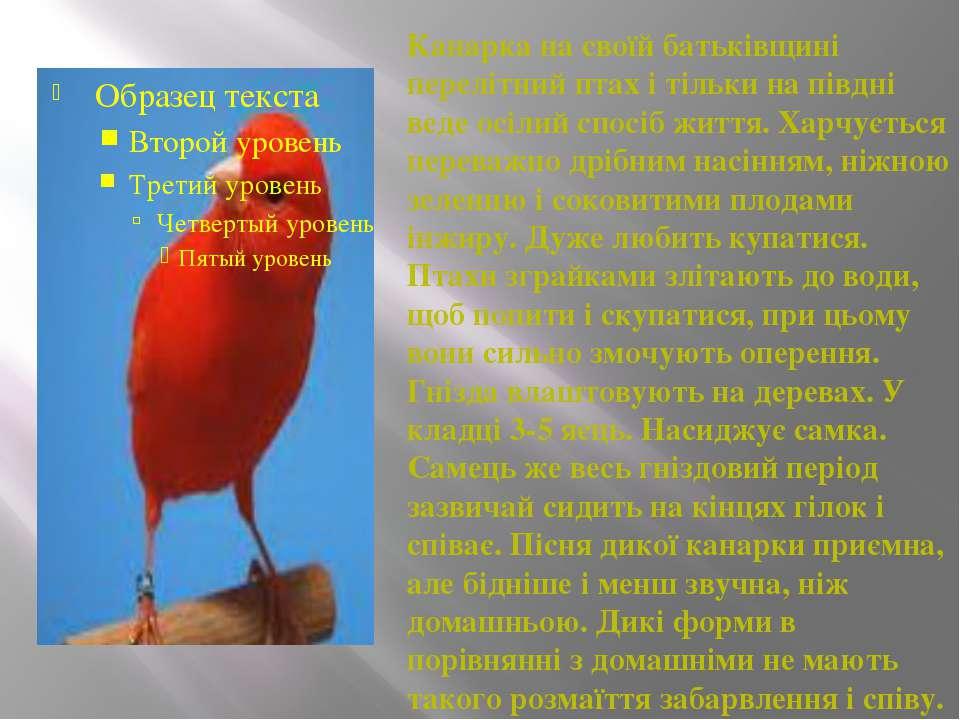 Канарка на своїй батьківщині перелітний птах і тільки на півдні веде осілий с...