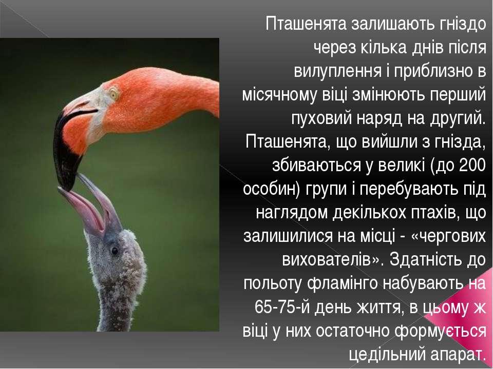 Пташенята залишають гніздо через кілька днів після вилуплення і приблизно в м...