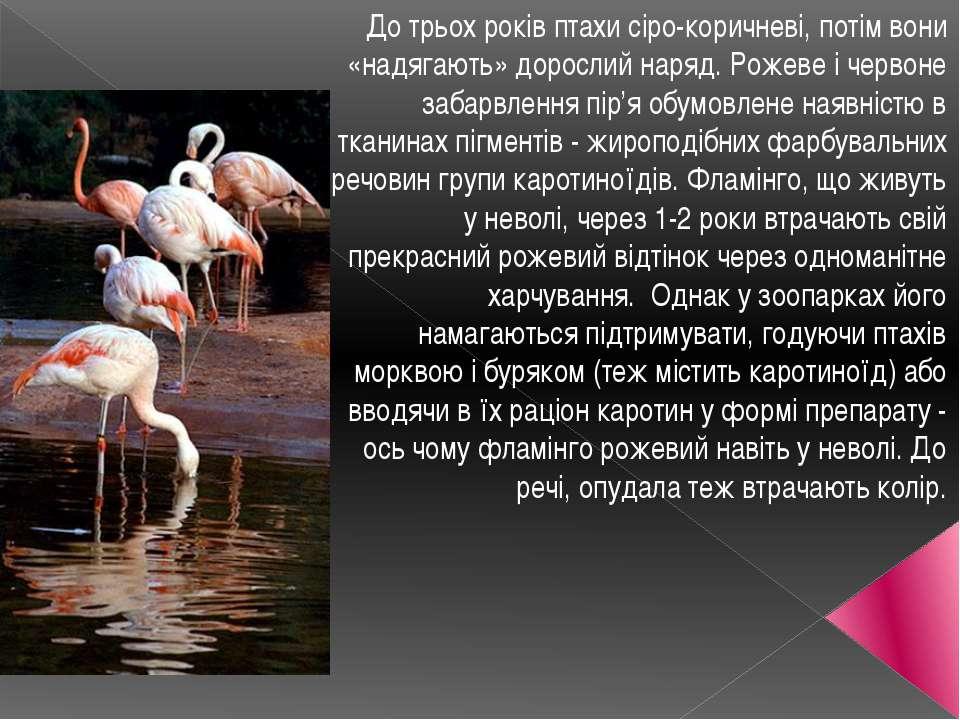 До трьох років птахи сіро-коричневі, потім вони «надягають» дорослий наряд. Р...