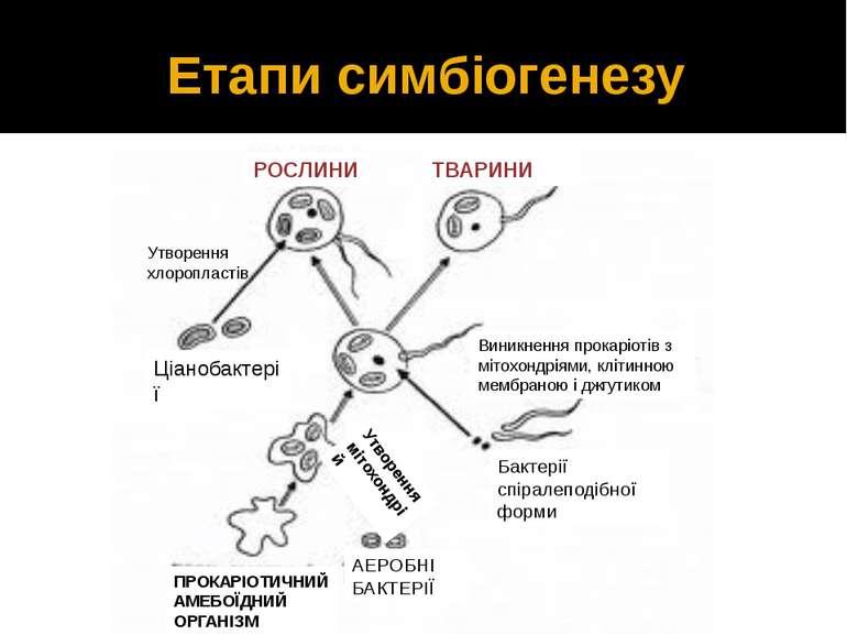 Етапи симбіогенезу РОСЛИНИ ТВАРИНИ Ціанобактерії Утворення хлоропластів Виник...