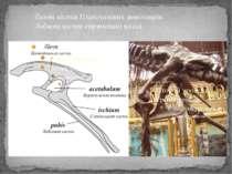 Тазові кістки Птахотазових динозаврів. Лобкові кістки спрямовані назад.