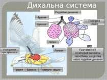 Дихальна система птаха Легеня Повітряний простір в кості Трахея Бронхи Повітр...
