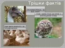 Трішки фактів Очі страуса більші , за його мозок. Кури здатні розрізняти всі ...