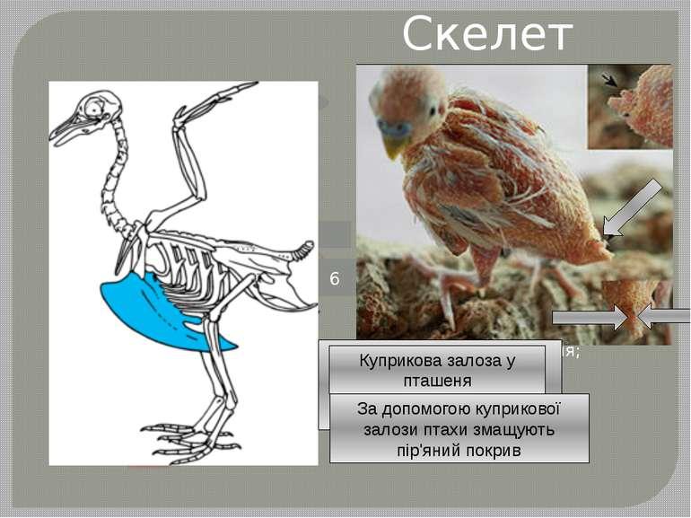 Скелет птаха - череп; - шийні хребці; - вилка; - цівка; - стегно; - куприкова...