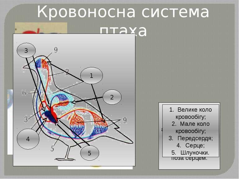 Кровоносна система птаха 1. Чотирикамерне серце; 2. Венозна та артеріальна кр...