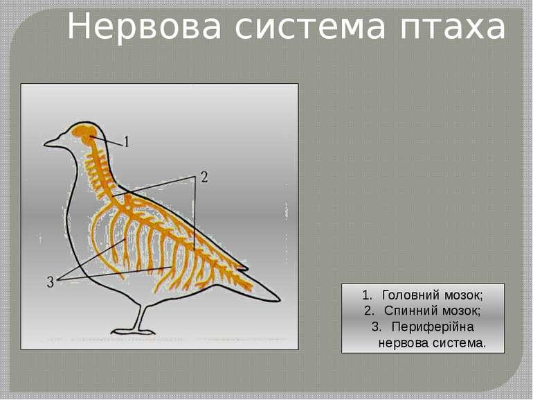 Нервова система птаха Головний мозок; Спинний мозок; Периферійна нервова сист...