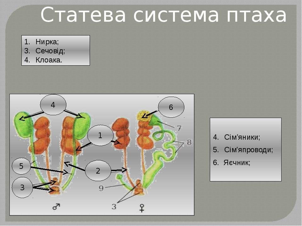 Статева система птаха Сім'яники; Сім'япроводи; 6. Яєчник; Нирка; Сечовід; Кло...