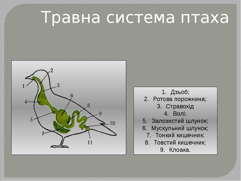 Травна система птаха Дзьоб; Ротова порожнина; Стравохід Волі; Залозистий шлун...