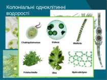 Колоніальні одноклітинні водорості