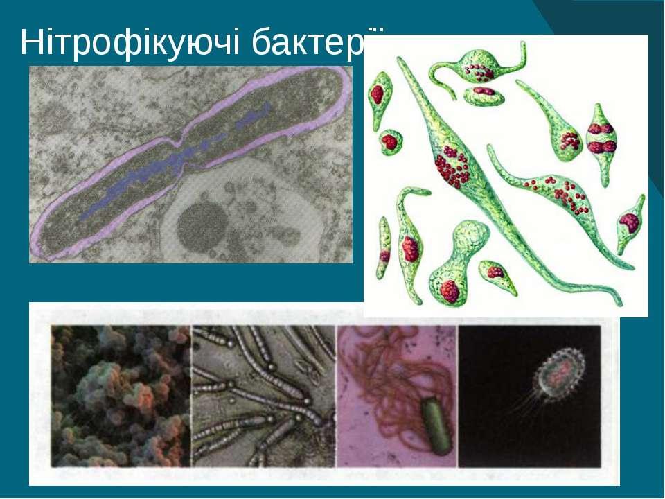 Нітрофікуючі бактерії 9