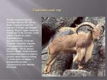 Велика тварина бурого кольору. Висота 90 -100 см. Живе стадами на крутих схил...