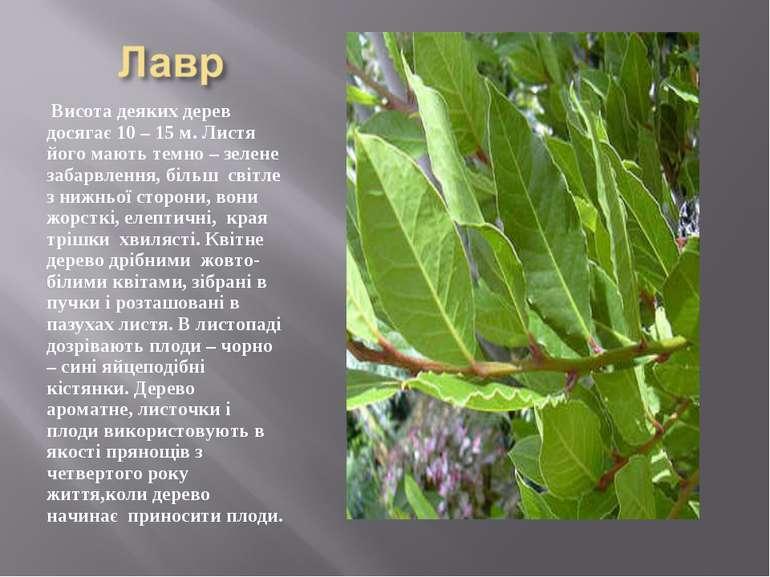 Висота деяких дерев досягає 10 – 15 м. Листя його мають темно – зелене забарв...