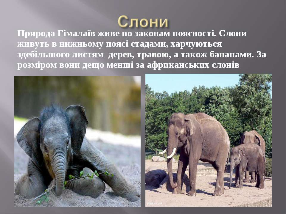 Природа Гімалаїв живе по законам поясності. Слони живуть в нижньому поясі ста...