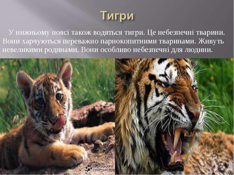 У нижньому поясі також водяться тигри. Це небезпечні тварини. Вони харчуються...