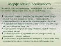 Морфологічні особливості Однодольні квітки— тримерні (число частин квітки кра...