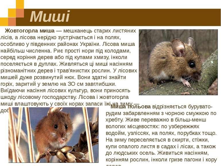 Миші Жовтогорла миша — мешканець старих листяних лісів, а лісова нерідко зуст...