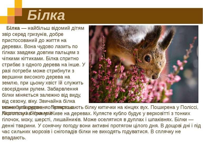 Білка Білка — найбільш відомий дітям звір серед гризунів, добре пристосований...
