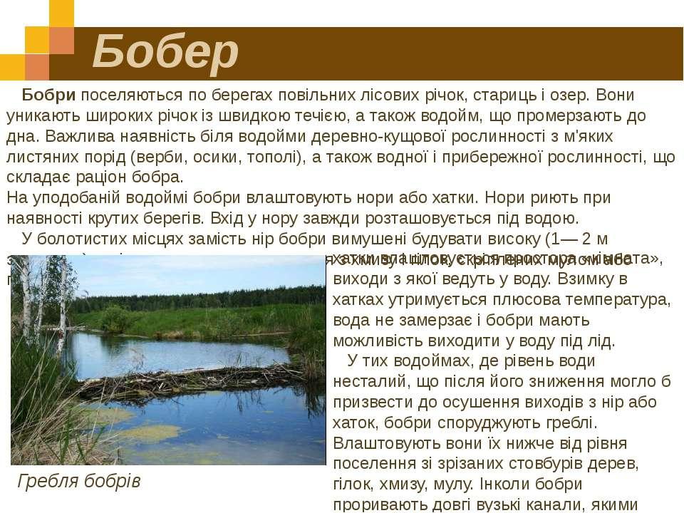 Бобер Бобри поселяються по берегах повільних лісових річок, стариць і озер. В...