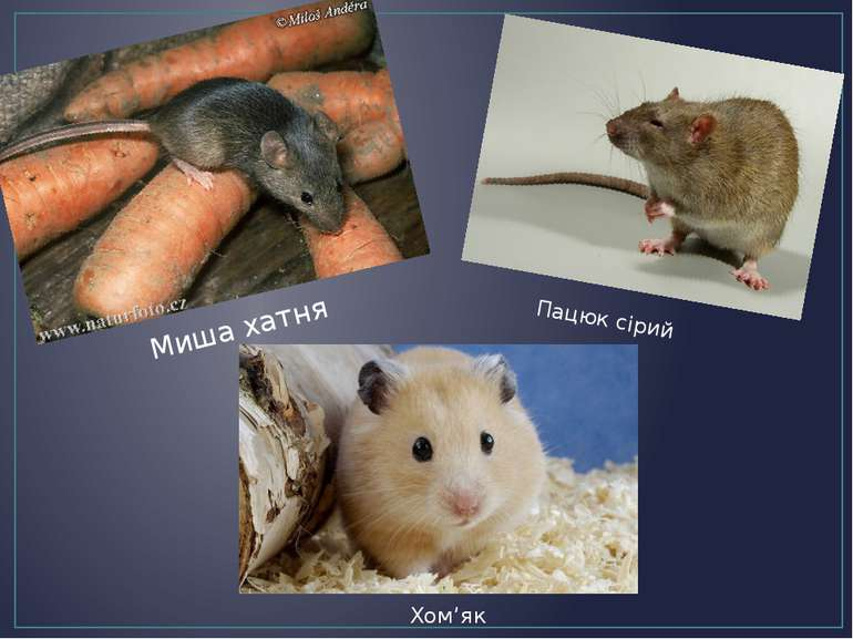 Миша хатня Пацюк сірий Хом'як