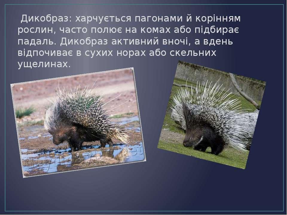 Дикобраз: харчується пагонами й корінням рослин, часто полює на комах або під...