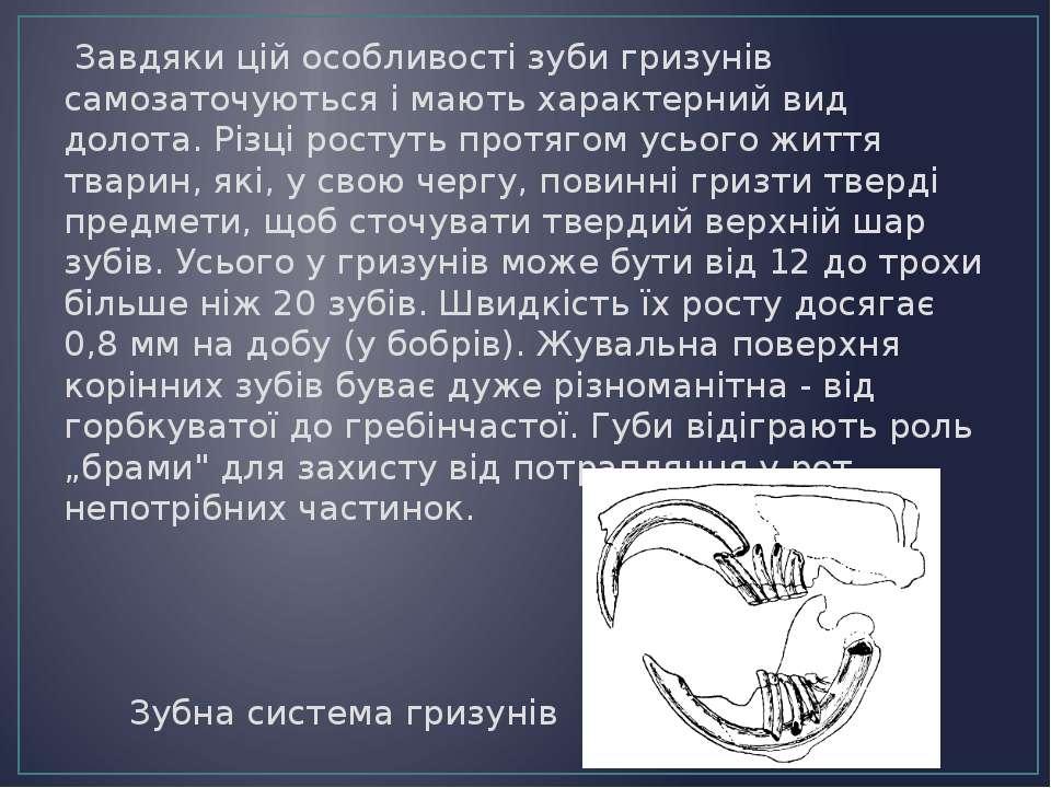 Завдяки цій особливості зуби гризунів самозаточуються і мають характерний вид...