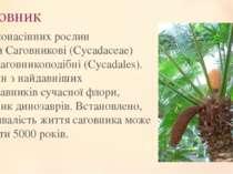 Саговник Рід голонасінних рослин родиниСаговникові(Cycadaceae) рядуСаговни...