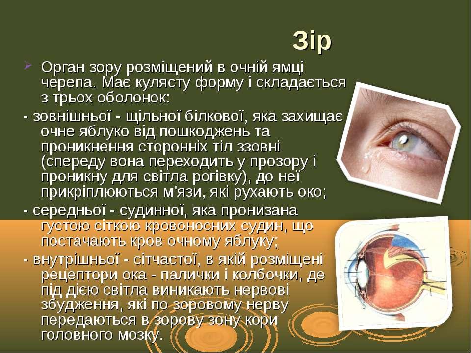 Орган зору розміщений в очній ямці черепа. Має кулясту форму і складається з ...
