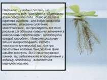 Наприклад , у водних рослин , що поглинають воду і розчинені в ній речовини в...