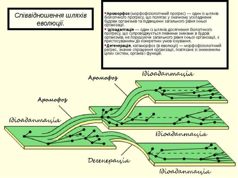 Співвідношення шляхів еволюції. Ароморфоз(морфофізіологічний прогрес) — один...
