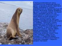 В період розмноження самці з'являються на лежбищах раніше самок і агресивно д...