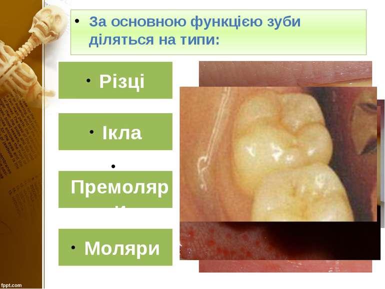 За основною функцією зуби діляться на типи: Різці Ікла Премоляри Моляри