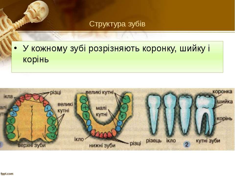 Структура зубів У кожному зубі розрізняють коронку, шийку і корінь