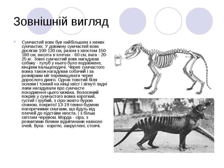 Зовнішній вигляд Сумчастий вовк був найбільшим з хижих сумчастих. У довжину с...