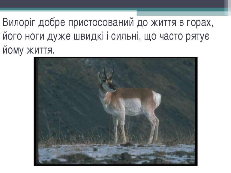 Вилоріг добре пристосований до життя в горах, його ноги дуже швидкі і сильні,...