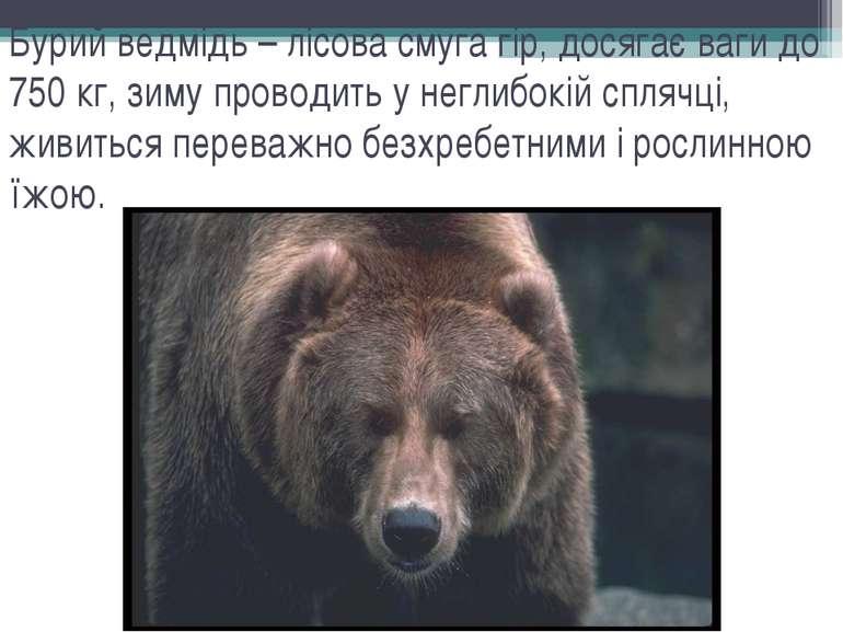 Бурий ведмідь – лісова смуга гір, досягає ваги до 750 кг, зиму проводить у не...