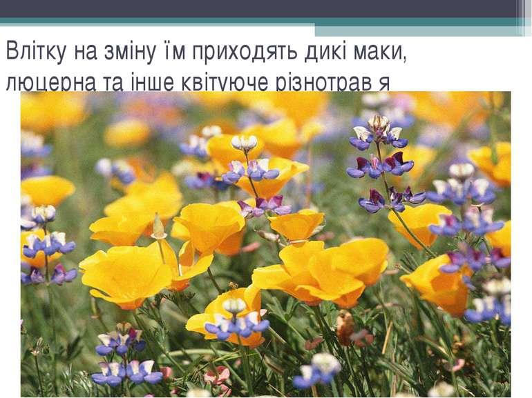 Влітку на зміну їм приходять дикі маки, люцерна та інше квітуюче різнотрав′я