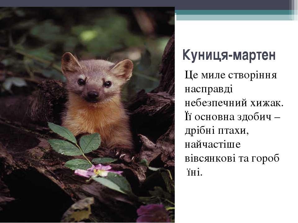Куниця-мартен Це миле створіння насправді небезпечний хижак. Її основна здоби...